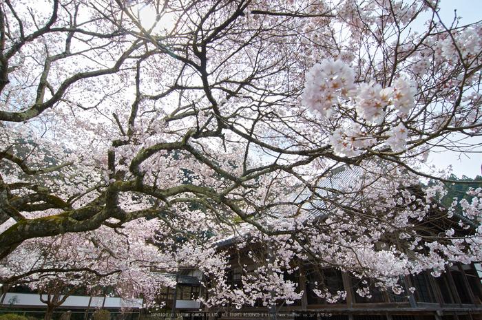 吉野本善寺,桜(K32_7171,12 mm,F10,iso100)2016yaotomi.jpg