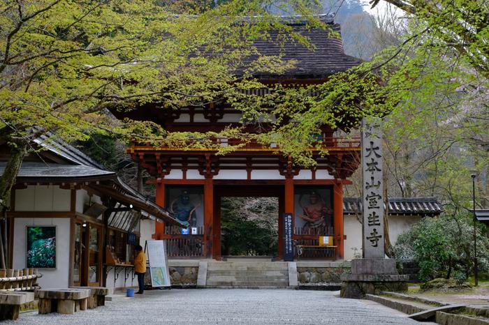 室生寺,桜(DSCF0168,40 mm,F7.1,iso200)2016yaotomi_.jpg