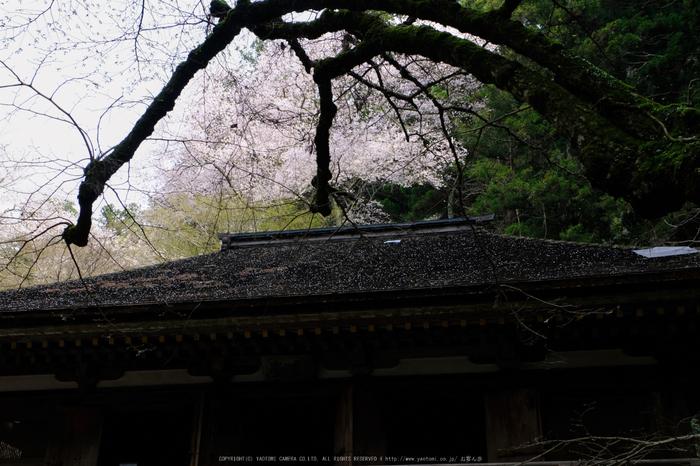 室生寺,桜(DSCF0195,27 mm,F7.1,iso200)2016yaotomi_.jpg