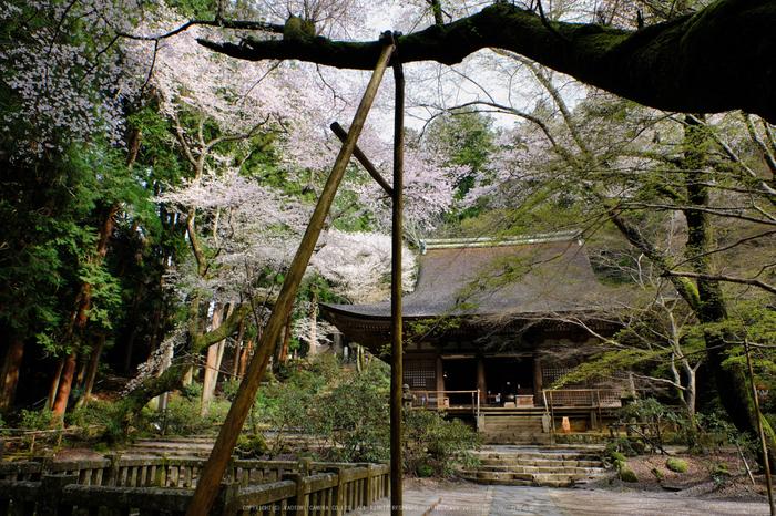 室生寺,桜(DSCF0202,16 mm,F7.1,iso200)2016yaotomi_.jpg