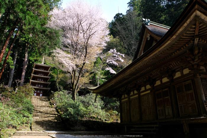 室生寺,桜(DSCF0282,18 mm,F8,iso200)2016yaotomi_.jpg