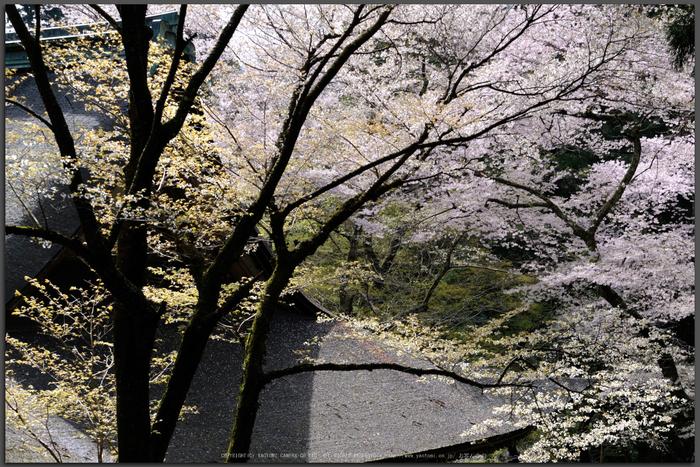 室生寺,桜(DSCF0338,50-mm,F8,iso200)2016yaotomi_T.jpg