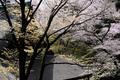 室生寺,桜(DSCF0338f,50 mm,F8,iso200)2016yaotomi_.jpg