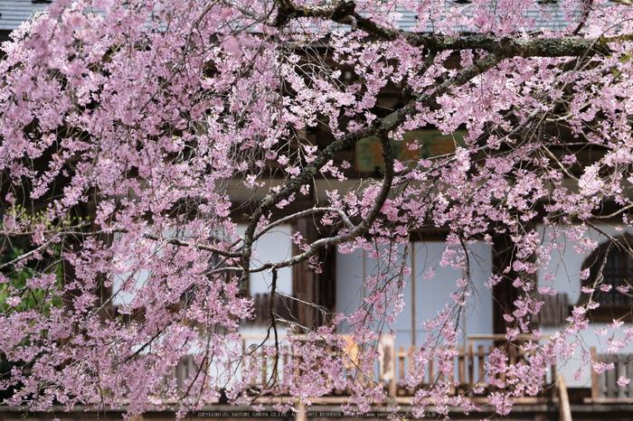 室生寺,桜(DSCF0429,72 mm,F2.8,iso200)2016yaotomi_.jpg