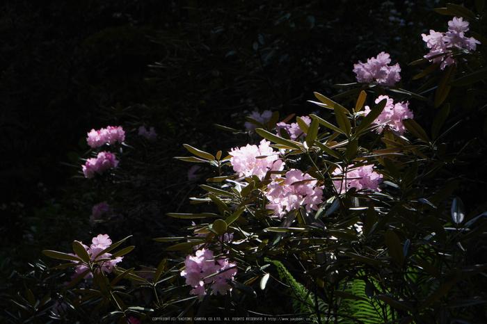 岡寺,しゃくなげ(P1000551(RAW),55 mm,F6.3,iso200)2016yaotomi_.jpg