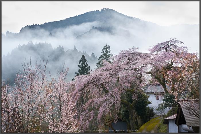 貝原,福西邸,桜(K32_7578,43-mm,F10)2016yaotomi_T.jpg