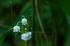 宇陀向淵,すずらん(EM180075fr,50 mm,F4.5)2016yaotomi_.jpg