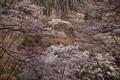 屏風岩公苑,桜(IMG_0198dppf,50 mm,F1.8,1-1000 秒)2016yaotomi_.jpg