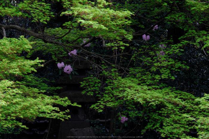 蓮華寺,新緑(DSCF0788,140 mm,F9)2016yaotomi.jpg