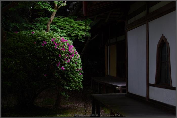 長岳寺,つつじ(EM170129,30-mm,F1.4)2016yaotomi_T.jpg