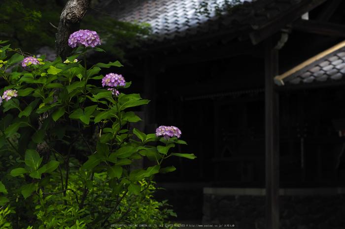 善峯寺,アジサイ(P6151484raw,43 mm,iso200)2016yaotomi.jpg