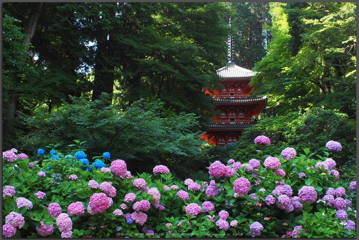 岩船寺,アジサイ(P6181838raw,18-mm,iso200)2016yaotomi_T.jpg