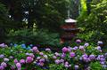 岩船寺,アジサイ(P6181838rawFL,18 mm,iso200)2016yaotomi.jpg
