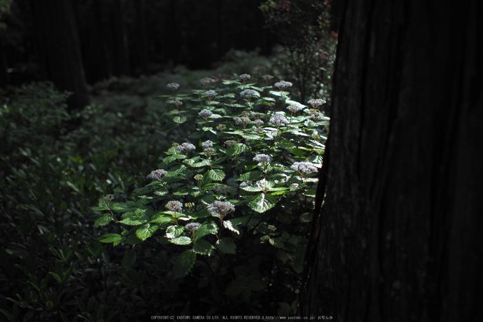 武木,コアジサイ,2016_P6111037,2016yaotomi.jpg