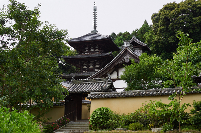 當麻寺西南院,サツキ_EM110136,2016yaotomi_.jpg