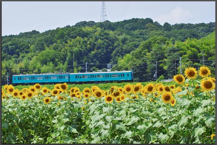 五條上野公園,ひまわり(SDQ_1815,50-mm,F7.1)2016yaotomi_T.jpg