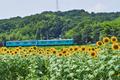 五條上野公園,ひまわり(SDQ_1815FL,50 mm,F7.1)2016yaotomi.jpg