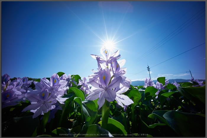 本薬師寺跡,ホテイアオイ(DSC00694,F--,iao80)2016yaotomi_T.jpg