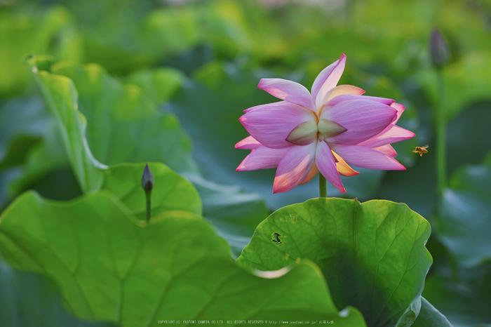 藤原宮跡,蓮(SDQ_1153,90 mm,F2.5,1-500 秒)2016yaotomi_.jpg