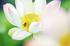藤原宮跡,蓮(SDQ_1267FL,100 mm,F2,1-640 秒)2016yaotomi_.jpg