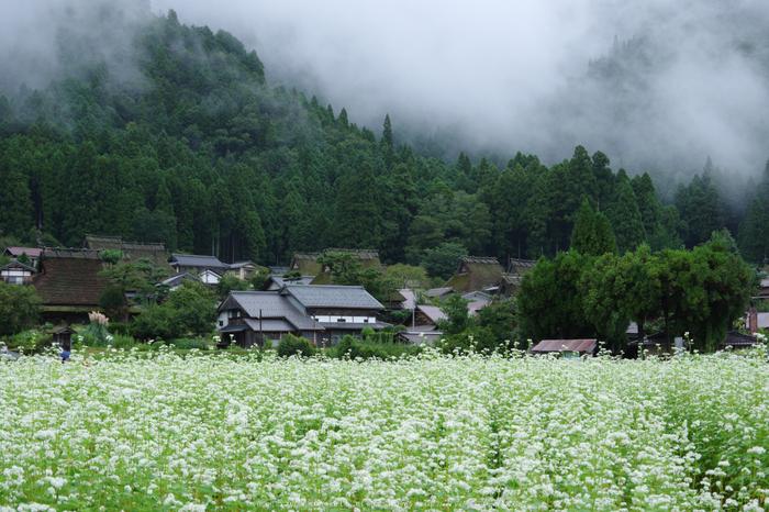 京都美山,かやぶきの里,蕎麦畑(K70_1655,40 mm,F8)2016yaotomi.jpg