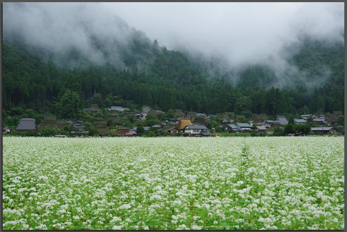 京都美山,かやぶきの里,蕎麦畑(K70_1666,31-mm,F8)2016yaotomi_T.jpg