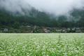 京都美山,かやぶきの里,蕎麦畑(K70_1666FL,31 mm,F8)2016yaotomi.jpg
