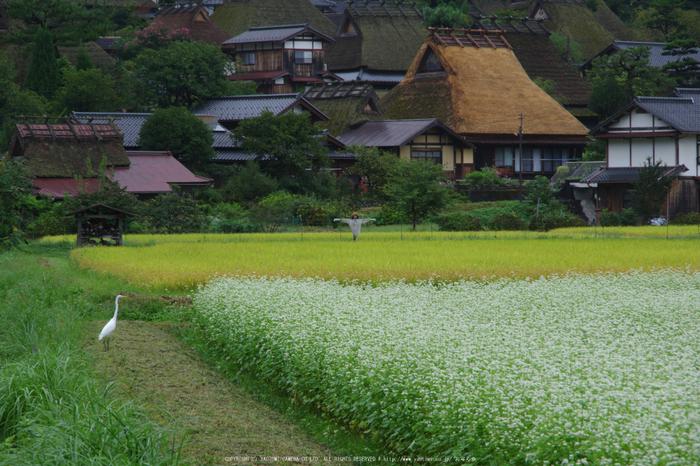 京都美山,かやぶきの里,蕎麦畑(K70_1684,135 mm,F10)2016yaotomi.jpg