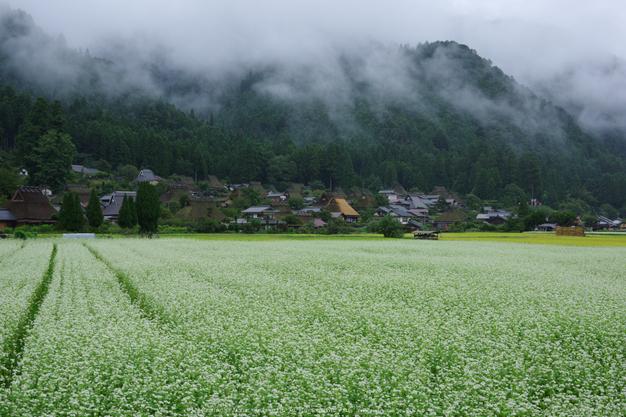 京都美山,かやぶきの里,蕎麦畑(K70_1690,28 mm,F8)2016yaotomi 1.jpg