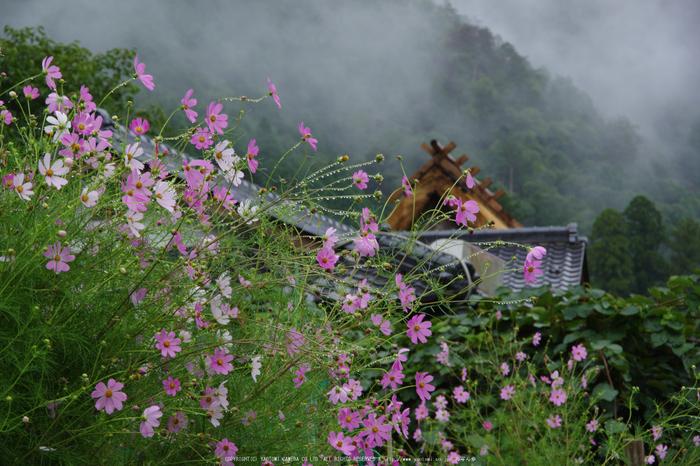 京都美山,かやぶきの里,蕎麦畑(K70_1710,88 mm,F10)2016yaotomi.jpg