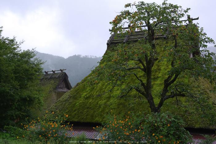 京都美山,かやぶきの里,蕎麦畑(K70_1741,31 mm,F8)2016yaotomi.jpg