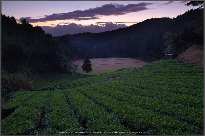 山添村,お茶畑(K70_0997G,16-mm,F8,iso100)2016yaotomi_T.jpg