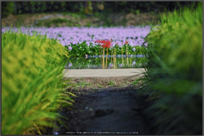 本薬師寺,ほていあおい(SDQ_2974,100-mm,F2)2016yaotomi_T.jpg