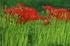滋賀高島,桂浜園地,彼岸花(PK1_0386FL,200 mm,F5.6,iso200)2016yaotomi.jpg
