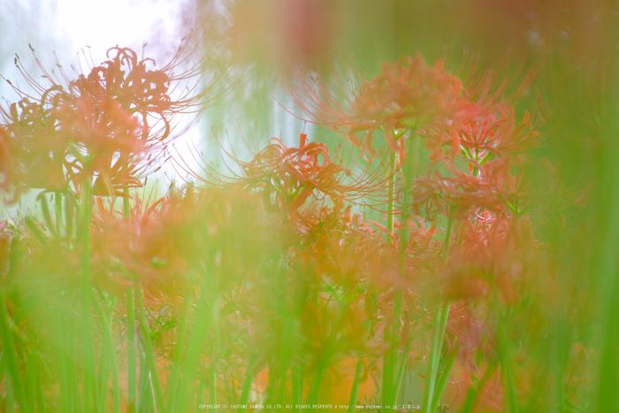 滋賀高島,桂浜園地,彼岸花(PK1_0518,200 mm,F3.2,iso200)2016yaotomi.jpg