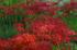 滋賀高島,桂浜園地,彼岸花(PK1_0528RRSFL,200 mm,F7.1,iso400)2016yaotomi.jpg