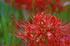 滋賀高島,桂浜園地,彼岸花(PK1_0547RRSFL,200 mm,F10,iso100)2016yaotomi.jpg