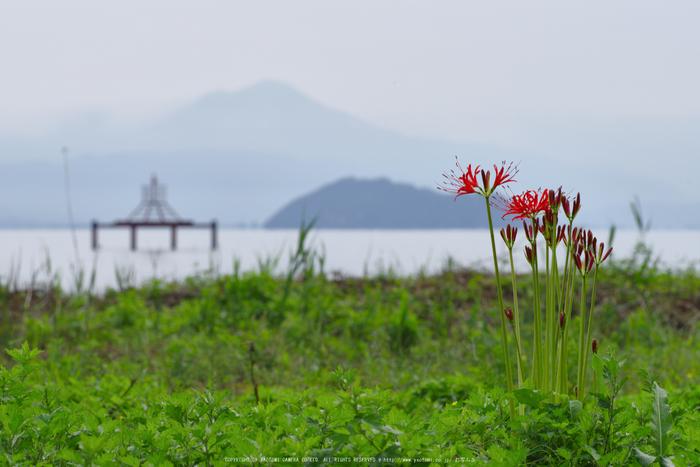 滋賀高島,桂浜園地,彼岸花(PK1_0554,200 mm,F14,iso100)2016yaotomi.jpg