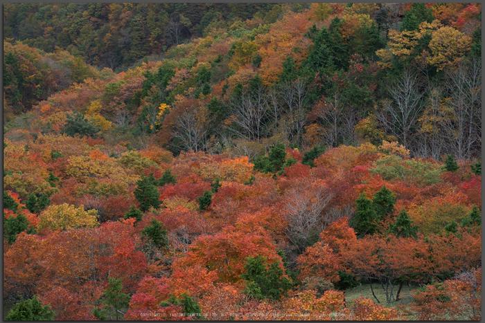 川上村,紅葉(PK1_2483,115-mm,F5)2016yaotomi_T.jpg