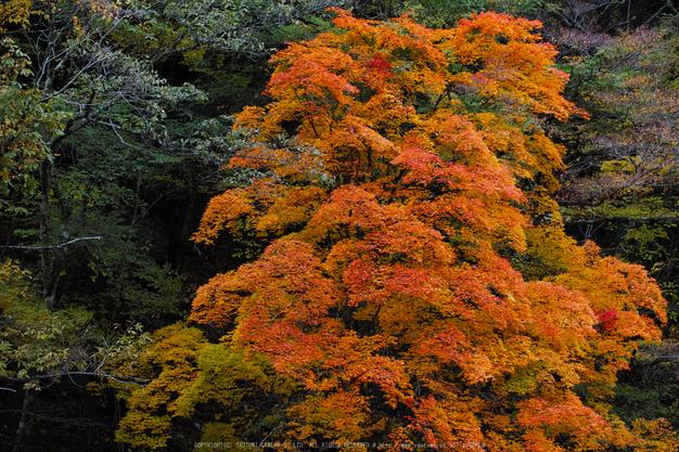 奈良天川,みたらい紅葉(SDQ_3440b,72 mm,F2.2)2016yaotomi.jpg