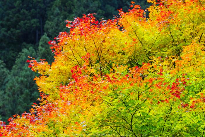 奈良天川,みたらい紅葉(SDQ_3465b,80 mm,F5)2016yaotomi.jpg