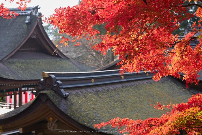 出雲大神宮,紅葉_IMG_9266,2016yaotomi_.jpg