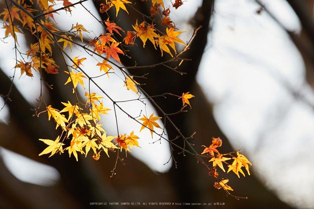 奈良,若草山の鹿_IMG_1658,2016yaotomi_.jpg
