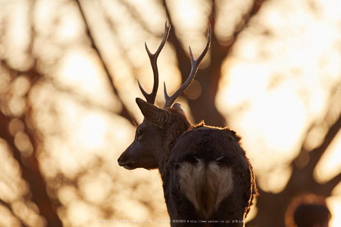 奈良,若草山の鹿_IMG_1704,2016yaotomi_.jpg