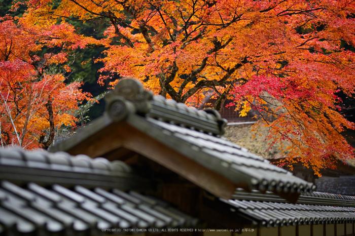摩氣神社,紅葉_IMG_8734,2016yaotomi_.jpg