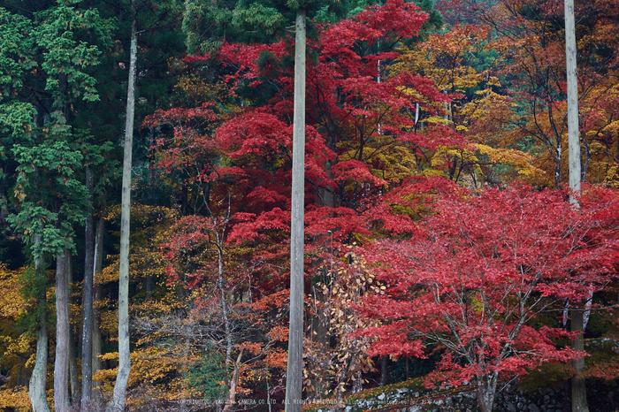 玉雲寺,紅葉_IMG_8884,2016yaotomi_.jpg
