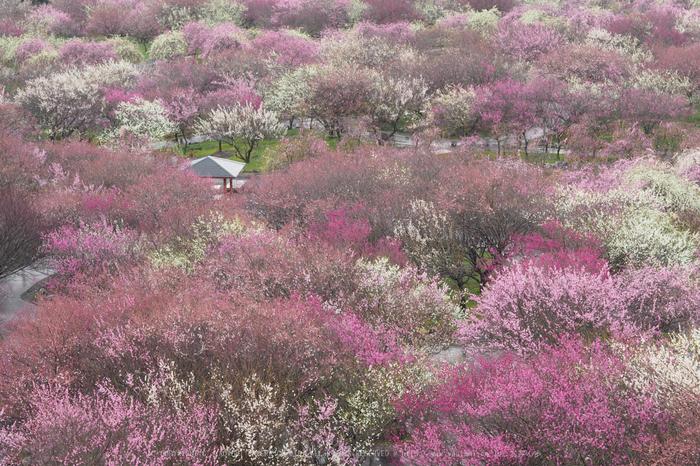 いなべ農業公園(梅林),P3150001,2017yaotomi.jpg