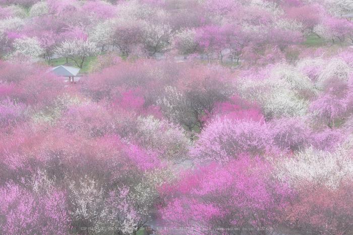 いなべ農業公園(梅林),P3150011(2),2017yaotomi.jpg