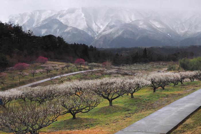 いなべ農業公園(梅林),P3150034ps3,2017yaotomi 1.jpg