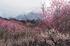 いなべ農業公園(梅林),P3150046ps3,2017yaotomi 1.jpg